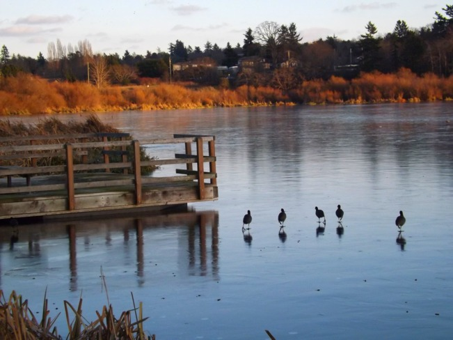 coots on ice Victoria, British Columbia Canada