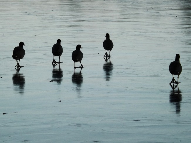 coots on ice 2 Victoria, British Columbia Canada