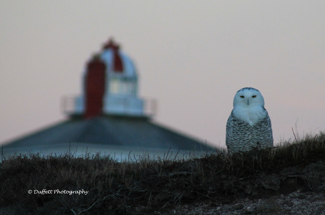 Snowy Owl at Cape Spear St. John's, Newfoundland and Labrador Canada