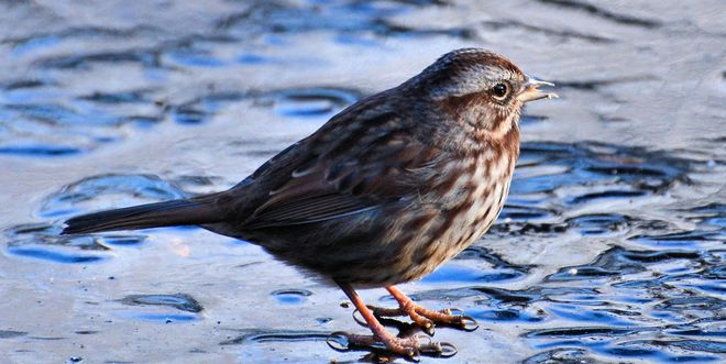 Song Sparrow on Ice Vancouver, British Columbia Canada