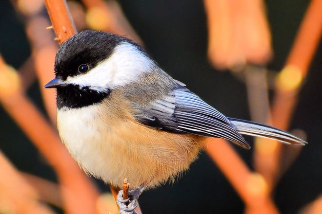 Black-Capped Chickadee Vancouver, British Columbia Canada