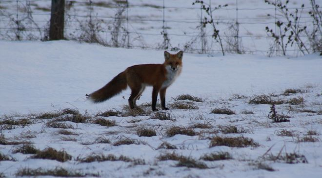 Fox On The Hunt Temiskaming Shores, Ontario Canada