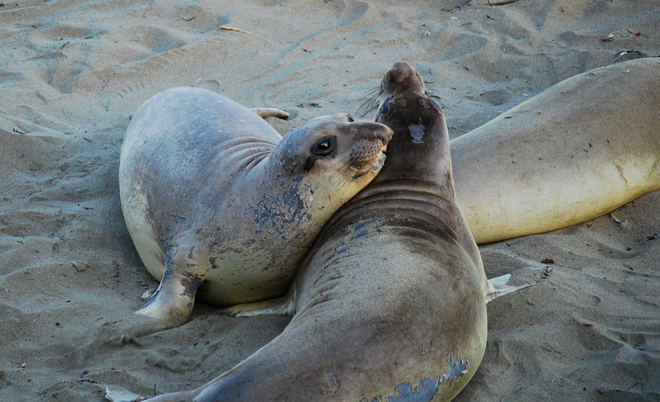 Elephant Seals San Simeon, California United States