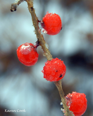 Ice berries Kingston, Nova Scotia Canada