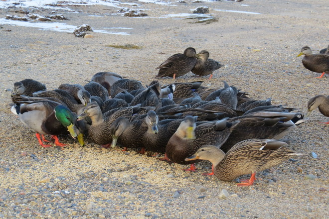 A Huddle of Ducks ... Chester, Nova Scotia Canada
