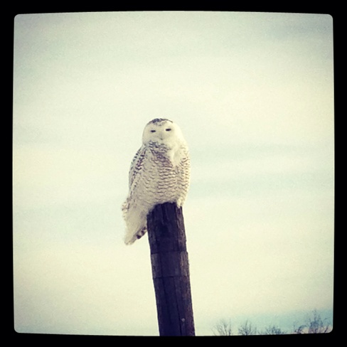Beautiful snowy owl Barrhaven, Ontario Canada