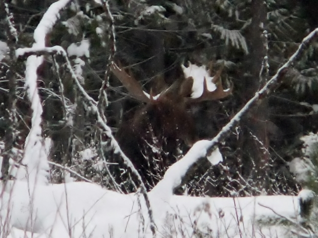 moose in snow Fauquier, British Columbia Canada