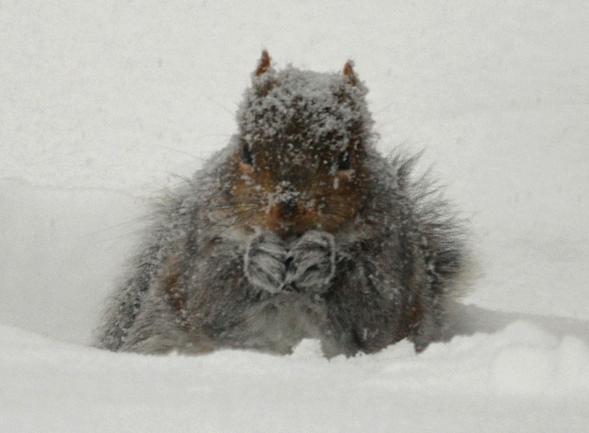 Snowy Squirrel Dec 15 2013 Minto, New Brunswick Canada