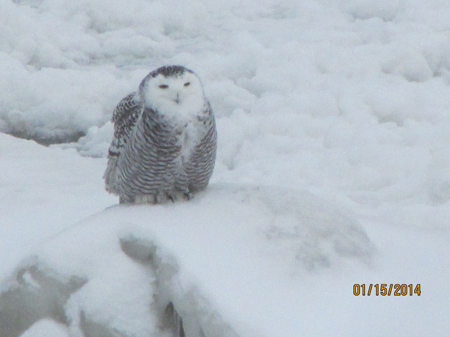 Snowy Owl on Lake Huron Brights Grove, Ontario Canada