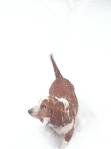 my basethound in the snow Aylmer, Ontario Canada
