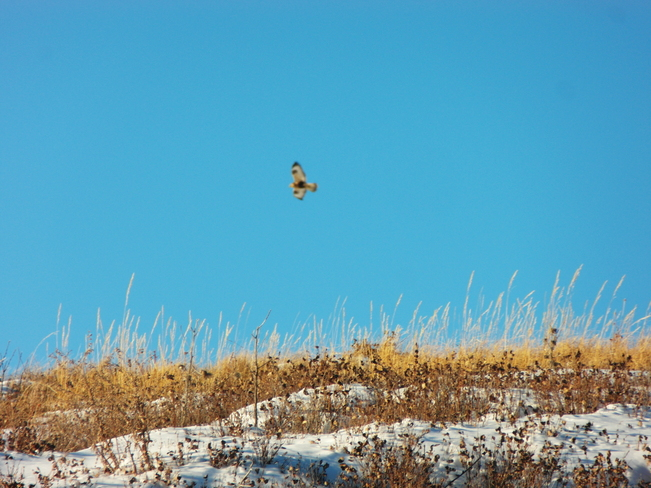 a hawk up at nose hill park Calgary, Alberta Canada