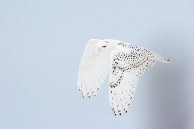 snowy owl flying in snowstorm St. Catharines, Ontario Canada