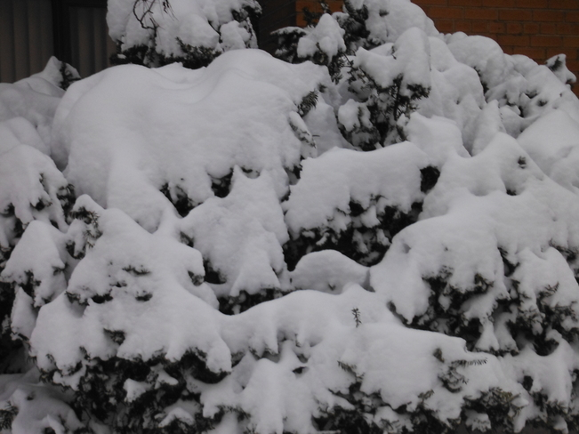 Snow covered bush Hamilton, Ontario Canada