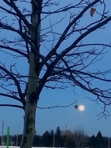 The moon and tree Markham, Ontario Canada