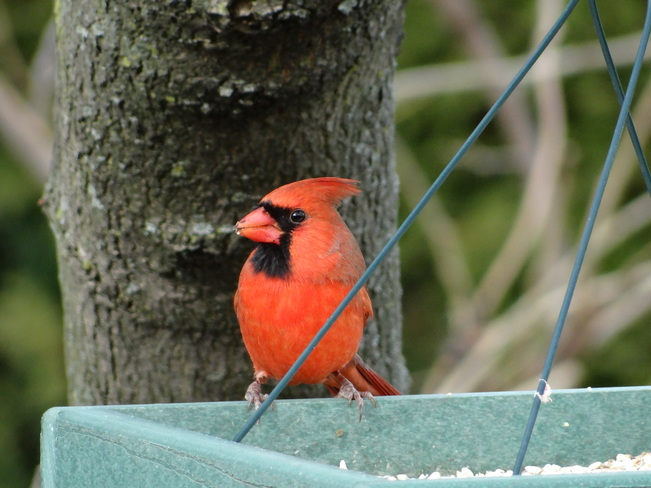 "Cardinal ""Morning feed"" St. Catharines, Ontario Canada"