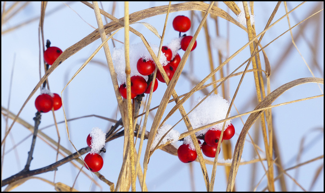 Sheriff Creek berries by the pond. Elliot Lake, Ontario Canada