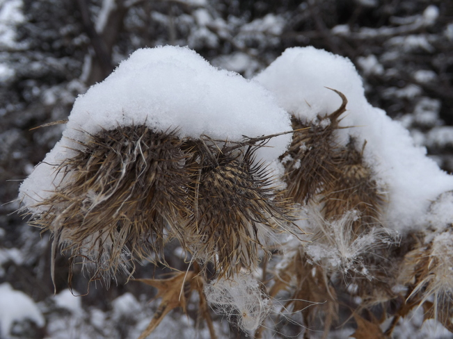 TOQUE ON A STICKY BURDOCK PLANT Thunder Bay, Ontario Canada