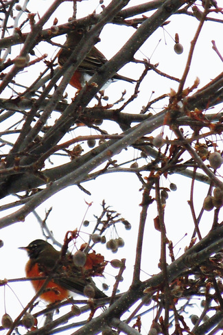 Lost Robins Fonthill, Ontario Canada