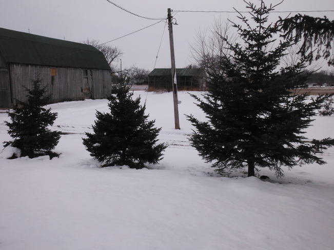 Small evergreen trees Haldimand, Ontario Canada