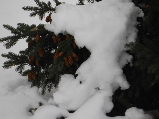 Snow on top of tree Haldimand, Ontario Canada