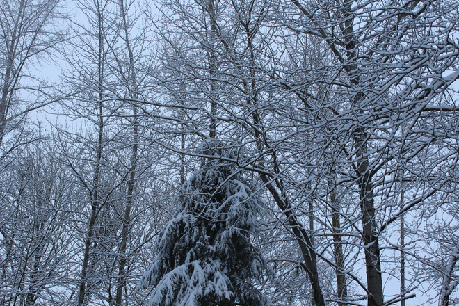 Snowy Tree's Abbotsford, British Columbia Canada