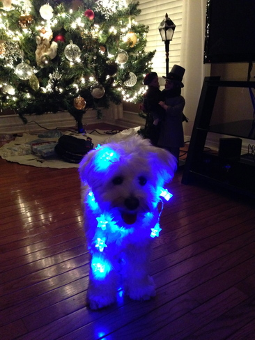 Puppy caught playing with lights London, Ontario Canada