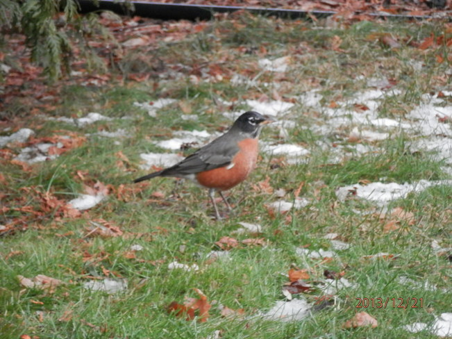 Robins in December Chatham, Ontario Canada