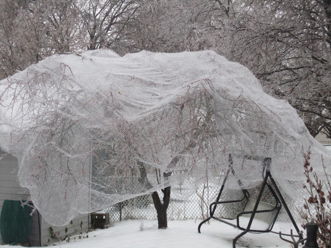My Frozen Fruit Tree with netting Kitchener, Ontario Canada