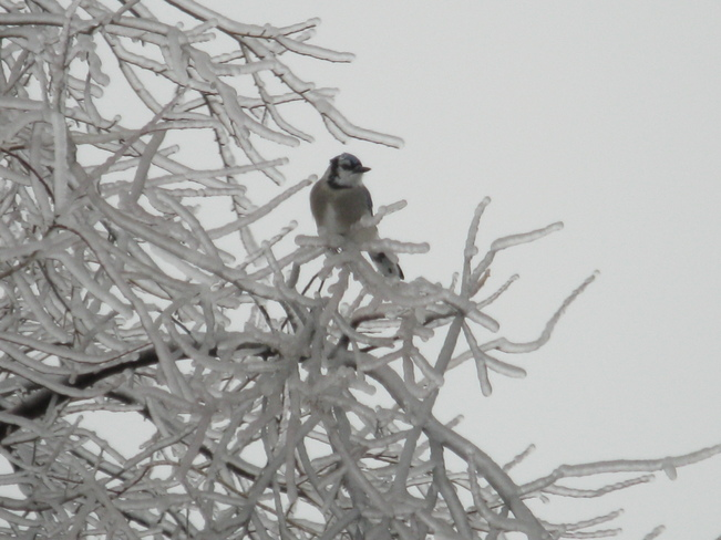 Blue Jay in an icy tree Inverary, Ontario Canada