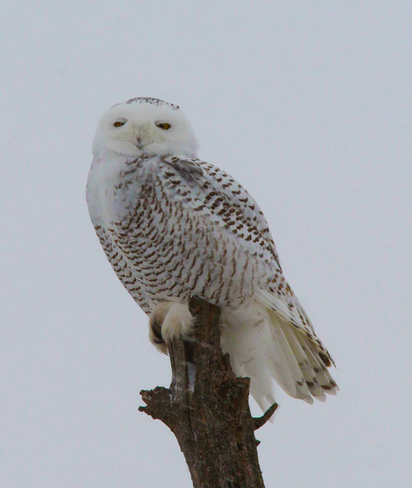 Female Snowy Owl London, Ontario Canada