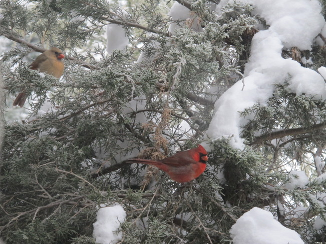 Cardinal Pair on our Hemlock