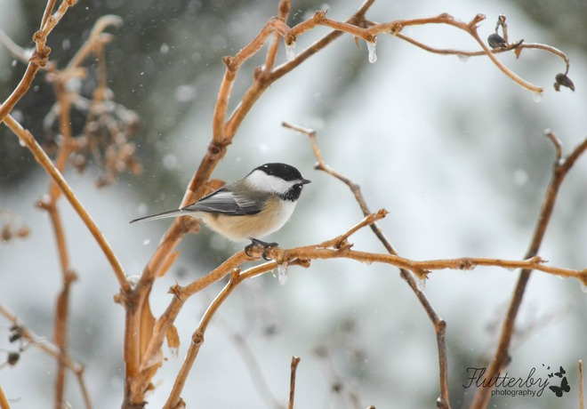 Chickadees are around in any weather! Barachois, New Brunswick Canada