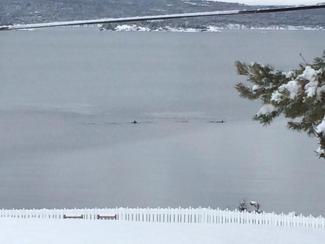 Porpoise on Christmas Eve Dildo, Newfoundland and Labrador Canada