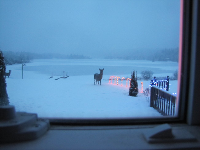 Merry Christmas Eve Deer Sherbrooke, Nova Scotia Canada