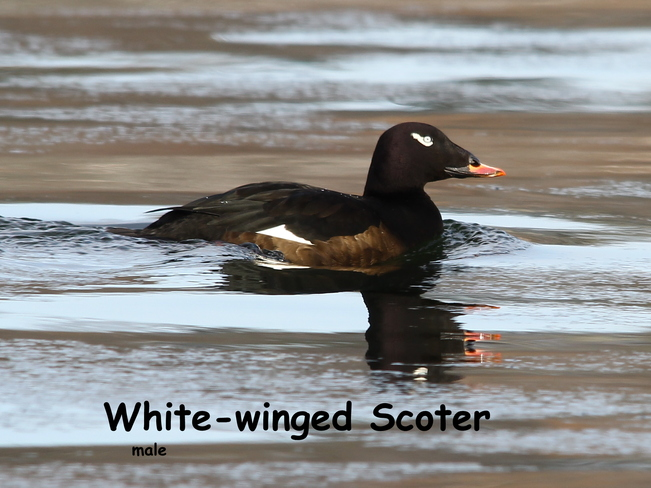 White-winged Scoter Fergus, Ontario Canada