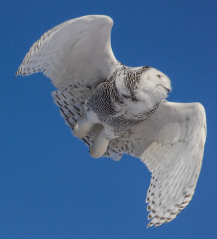 Beautiful snowy owl St. Catharines, Ontario Canada