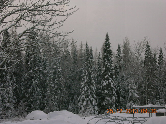 Christmas Day Snow covered Trees Salisbury, New Brunswick Canada