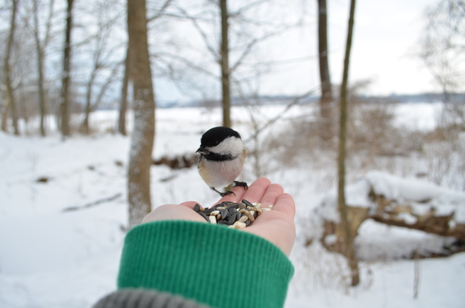 Feeding the Chickadee Hamilton, Ontario Canada