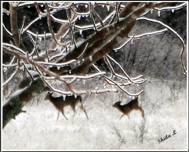 Deer In A Ice Storm