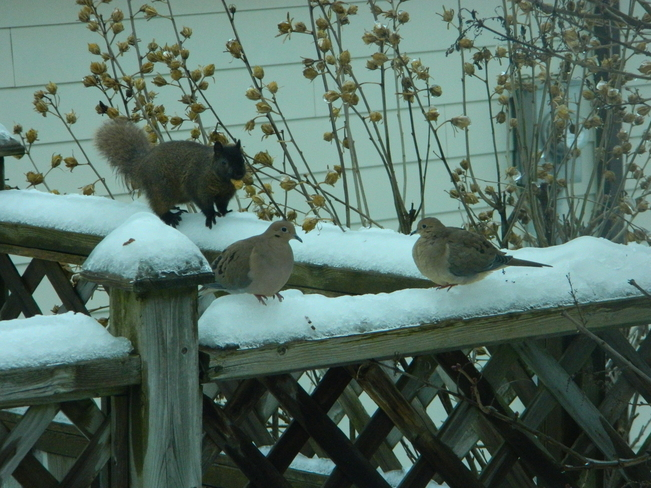 Squirrel and Doves Bradford West Gwillimbury, Ontario Canada