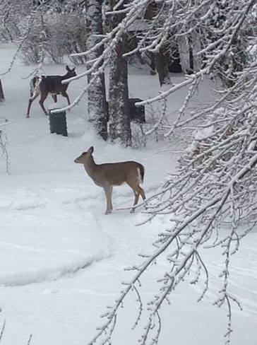 Deer in back yard,Rothesay, NB Rothesay, New Brunswick Canada