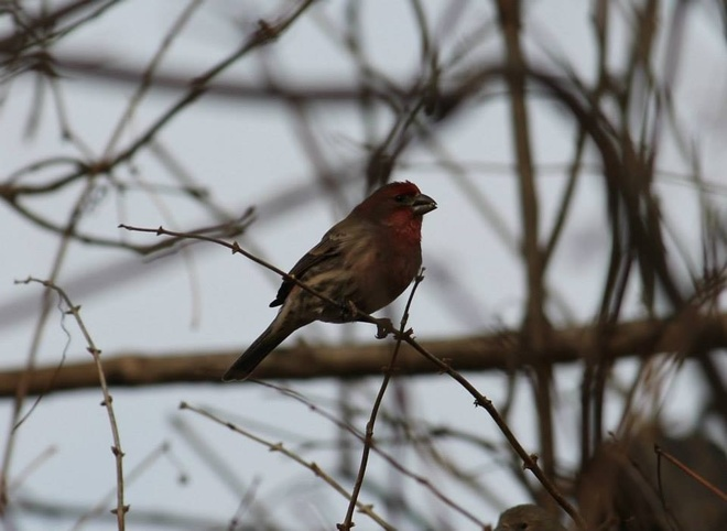 Purple Finch Sarnia, Ontario Canada