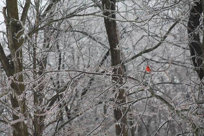 Cardinal On Ice Kitchener, Ontario Canada