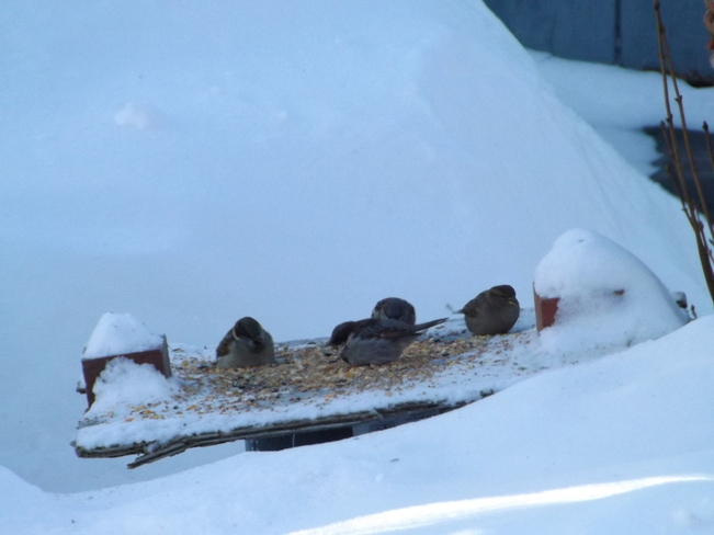hungry birds@-39 weather Thunder Bay, Ontario Canada