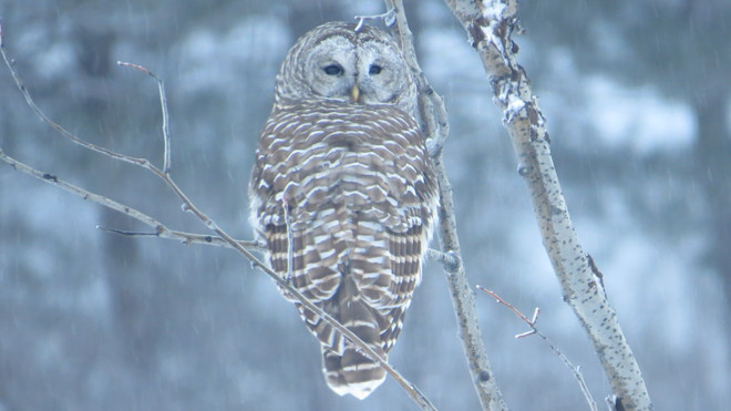 our resident owl just hanging out Rutherglen, Ontario Canada