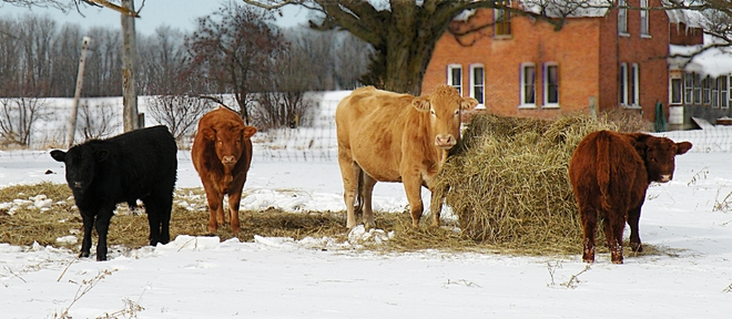Happy Moo Year! Campbellford, Ontario Canada