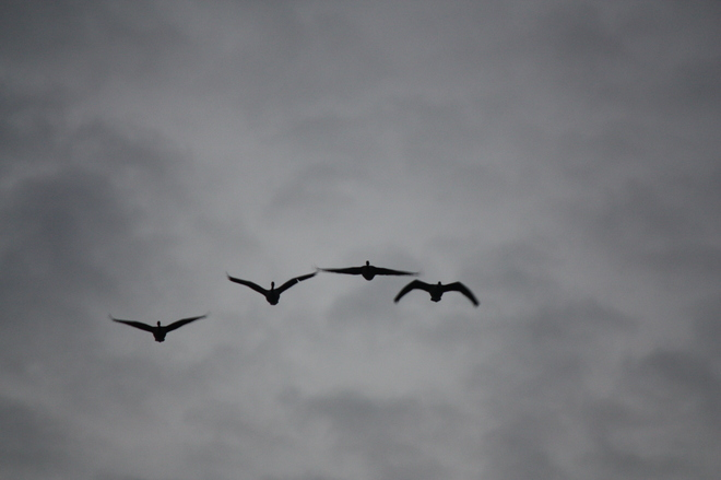 A small formation of geese flying. Point Edward, Ontario Canada