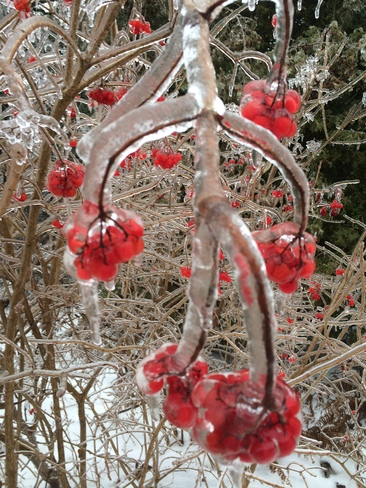 Freezing Red Cherry Waterloo, Ontario Canada