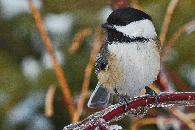 Chickadee Waiting to be Fed Whitby, Ontario Canada