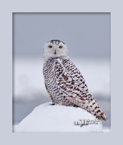 Snowy Owl in snow Ladner, British Columbia Canada